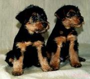 Вельштерьера щенки в Самаре,  возможна доставка в Оренбург