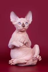 Упитанные и воспитанные котята-канадский сфинкс.